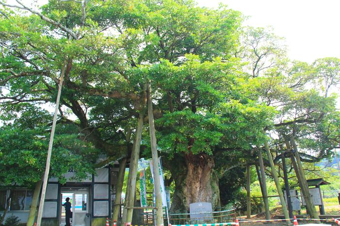 財田町タブの木