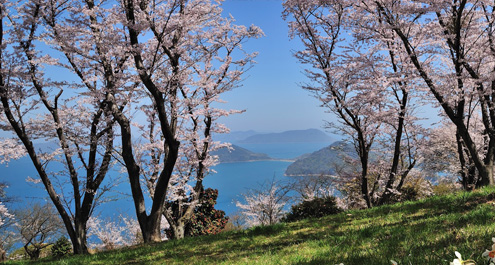 cherry trees overlooking the seto inland sea on mt. shiude