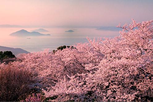 ▲ 春の紫雲出山 桜と瀬戸内海が一緒に楽しめる(3月下旬~4月中旬)