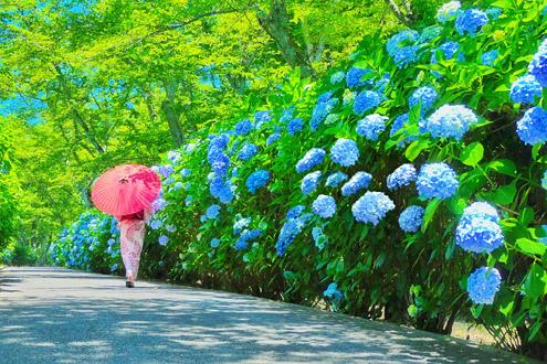 ▲ 夏の紫雲出山 満開のアジサイが美しい(6月~7月)
