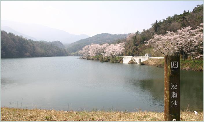逆瀬池の桜