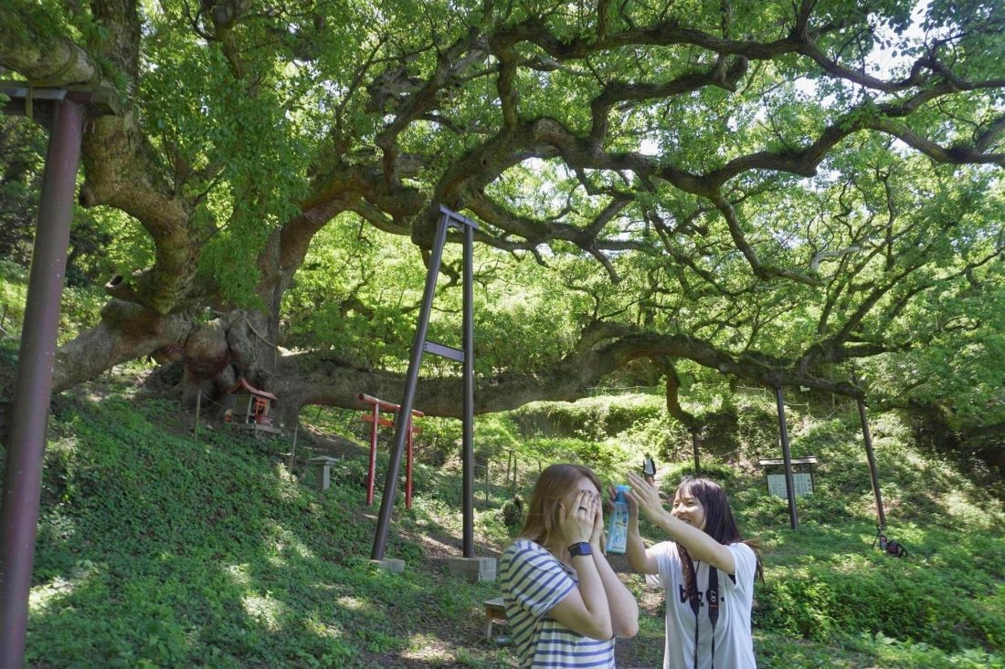 okusu, the giant camphor tree