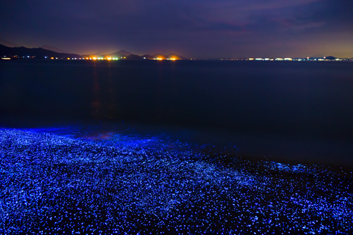 sea fireflies